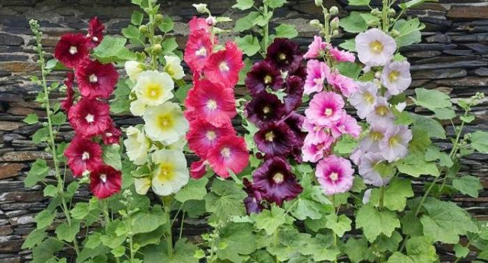 خواص گل ختمی خیلی بیشتر از درمان گلو درد است